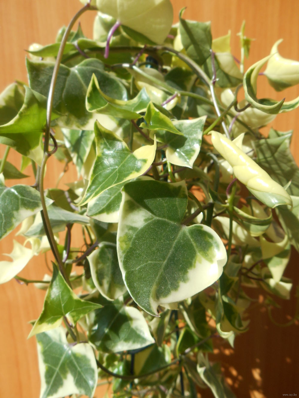 фото домашняя лиана